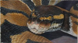 Ball Python Colored Pencil Drawing
